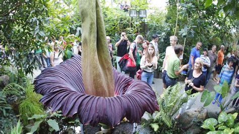 Botanischer Garten Hamburg Gastronomie by Die Gr 246 223 Te Blume Der Welt Bl 252 Ht Und Stinkt Wieder In
