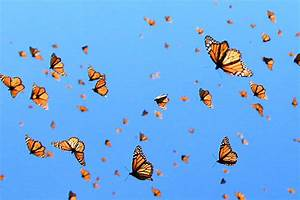 "Monarch Butterflies Get Their Own ""Flyway"" Along ..."