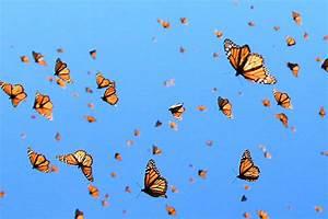 """Monarch Butterflies Get Their Own """"Flyway"""" Along ..."""