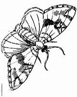 Moth Coloring Pages Jungle Room Google Coloringpages4kids Colouring sketch template