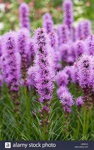 Liatris Spicata Kobold : liatris stock photos liatris stock images alamy ~ Watch28wear.com Haus und Dekorationen