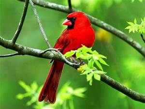 Bird Desktop Wallpaper Beautiful Cardinal Bird : Wallpapers13.com  Bird