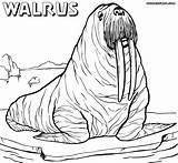 Walrus Coloring Pages Drawing Realistic Sheet Printable Draw Animal Drawings Getdrawings Colorings Designlooter sketch template