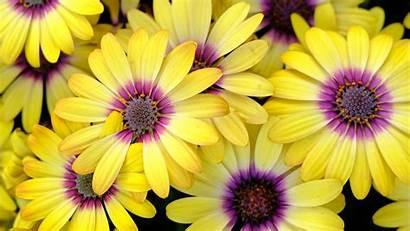 Flowers Daisy Petals 1080p Fhd 720p Hdtv