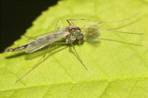 Fliegen Und Mücken (zweiflügler)