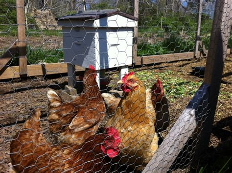 Can Backyard Chickens And Bees Co-exist?