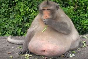 Meet  U2018uncle Fat U2019  The Chunky Monkey Now On A Crash Diet After Gorging On Junk Food