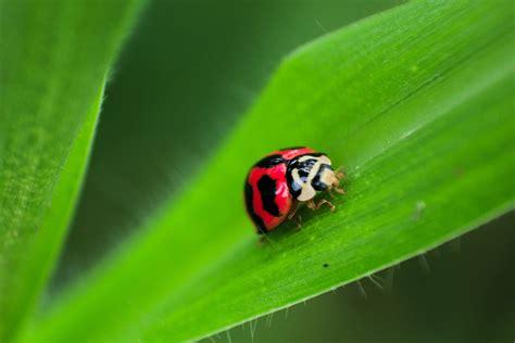 black and red ladybug on green leaf 183 free