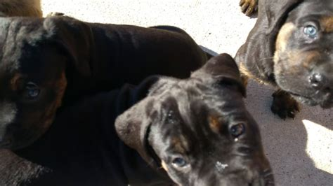 view ad cane corso rottweiler mix puppy  sale texas