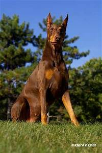 Warlock Doberman Pinscher | Doberman Pinscher Dobermann ...