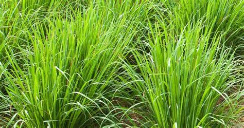 citronella ls south africa worried of snakes these plants will repel snakes from