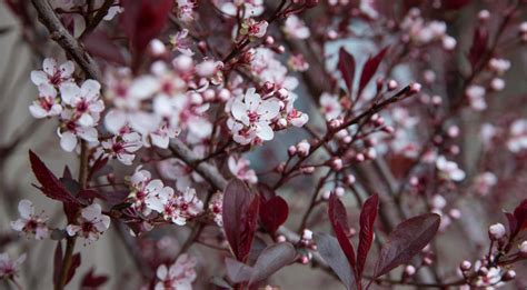 In the spring, small, white flowers mature. What Gardening Enthusiasts Must Know About Purple Leaf ...