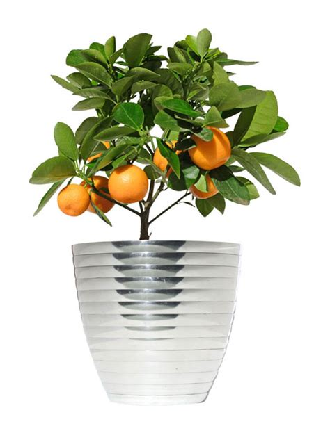 plant  dwarf citrus indoors garden club