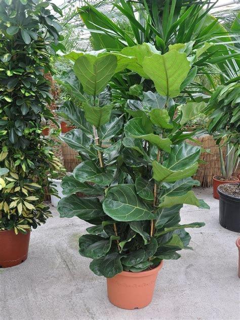 Große Zimmerpflanzen Günstig by Die Besten 25 Geigenfeige Ideen Auf Ficus