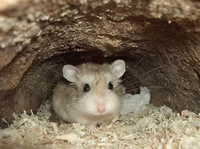 Hamster Roborovski Phodopus Desert Wikipedia Dwarf Hamsters