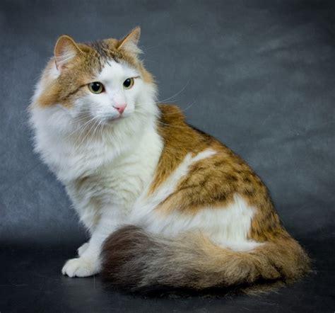 ragamuffin cats ragamuffin cat breed images