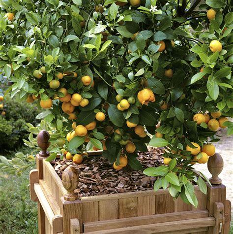 4 agrumes 224 cultiver en pot d 233 tente jardin
