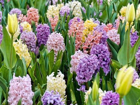 Bulbi Tulipani Quando Piantarli by Bulbi Da Fiore Bulbi Piante Bulbose