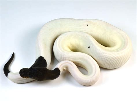 ball python heat l off at night anyone have ball python experience page 3 hedgehog