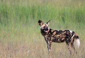 African Wild Dog HD Wallpapers | WallpapersIn4k.net