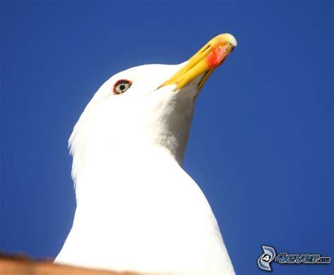 Il Gabbiano Uccello by Gabbiano