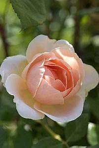 Begleitpflanzen Für Rosen : rosen f r den k bel ambridge rose 3 ~ Orissabook.com Haus und Dekorationen