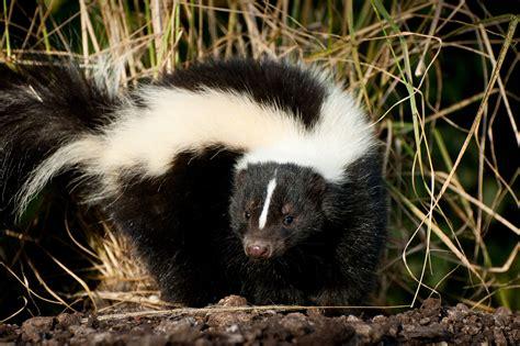 repel skunks effective wildlife solutions