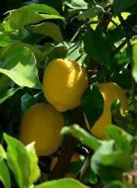 Zitruspflanzen Gelbe Blätter : zitronenbaum pflege schneiden berwintern und krankheiten garten zitronenbaum zitronen ~ Orissabook.com Haus und Dekorationen