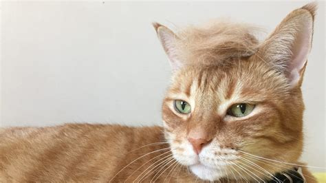 Cat Hair - cats with hair