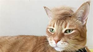 Cats With Trump Hair