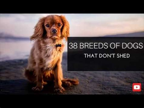 what types of dogs dont shed 38 breeds of dogs that don t shed