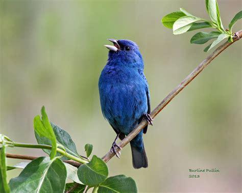 Blue Bird Wallpaper 68 Images