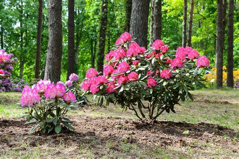 Rododendru dārzs - Cirava.lv