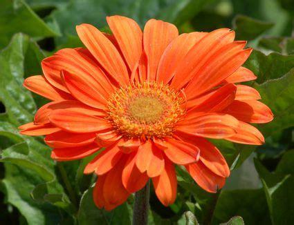 growing  caring  montauk daisies