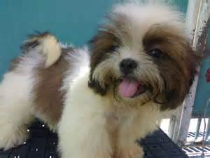 Adoption for Shih Tzu Puppies for Sale