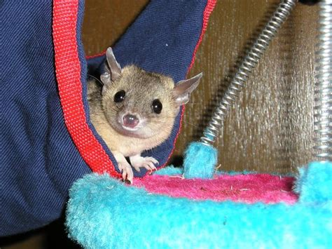 tailed opossum 1000 images about short tailed opossume on pinterest south america suddenly and the shorts
