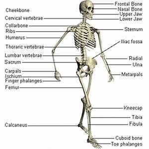 Skeletal System - Human Body System By:Tommy Lane