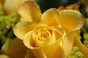 Resultado de imagen de fotos de rosas amarillas