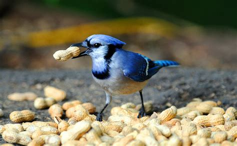 blue jay raiding nut pile flickr photo sharing