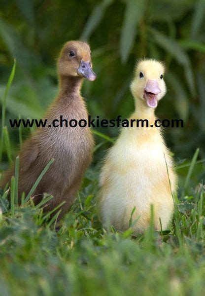 heat l for ducklings female ducklings for sale deal kent pets4homes