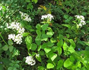 Wildflower White Snakeroot