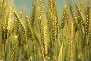 Generic TV still of tight close-up of golden wheat crop in ...