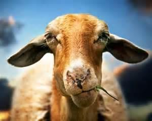 Funny Animals Goats