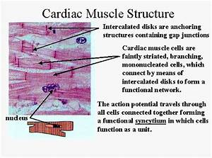 CH 18 Histology of the Heart