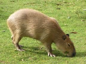 Capybara Amazon Rainforest Animal