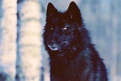 Wolf Wolves Gifs Scratch Snow Cool Wifflegif