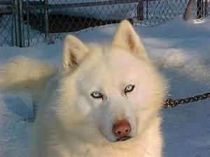 White Siberian Husky Wolf Hybrid Photo - Happy Dog Heaven