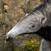Species Profile: Giant Anteater (Myrmecophaga tridactyla ...