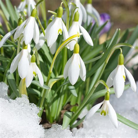 buy giant snowdrop bulbs galanthus woronowii