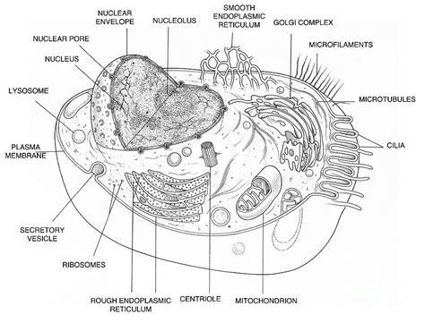 Diagrams Of An Animal Cell  Printable Diagram